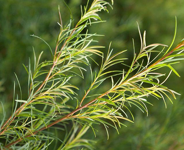 Best Ingredient for Oily Skin Tea Tree Oil