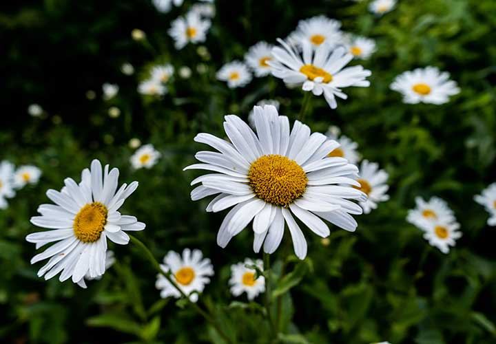 how get rid of rashes using chamomile