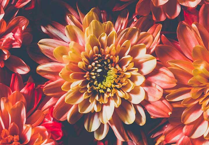How to Prepare Chrysanthemum Tea