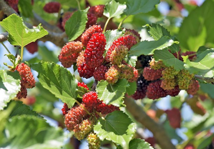 How to Grow Mulberry aka Shahtoot Orchard