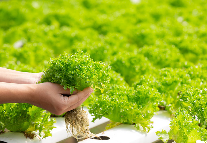 Green Vegetables Eating is a Must to Lose Weight