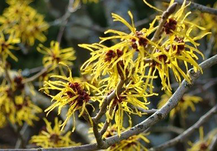 The Possible Side Effects and Benefits of Witch Hazel